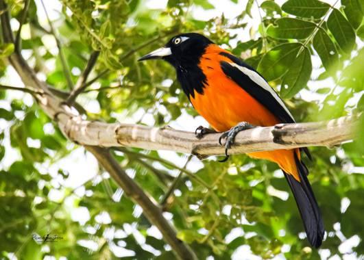 sinisterra2009 en Hamelin: Fauna  (Cali), Icterus icterus (Linnaeus, 1766), Turpial guajiro (Icterus icterus) es una especie de ave paseriforme de la famil...