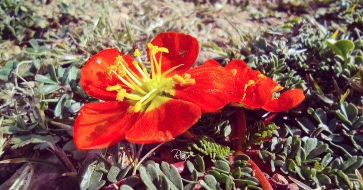 Vzroxana en Hamelin: Flora  (Tomayapo (El Puente)), #Tarija