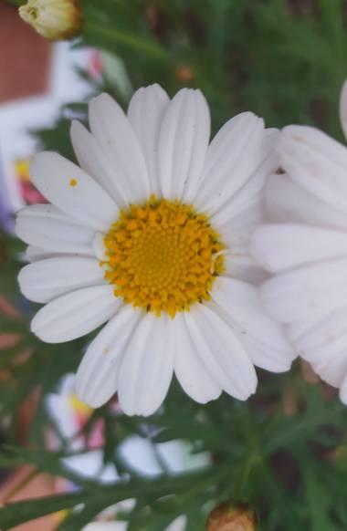 Susana-oda en Hamelin: Flora  (La Línea de la Concepción)