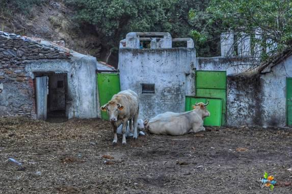 Salambina en Hamelin: Fauna  (Lugros), Ganado de La Dehesa del Camarate #Bosqueencantado #dehesadelcamarate #fauna #otoño #bosque #animales #vacas #toros #...