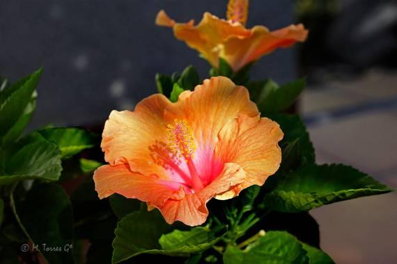 manuel.torres1 en Hamelin: Flora  (El Vendrell), Hibiscus rosa-sinensis, Hibiscos color salmón entre tenues rayos de sol.