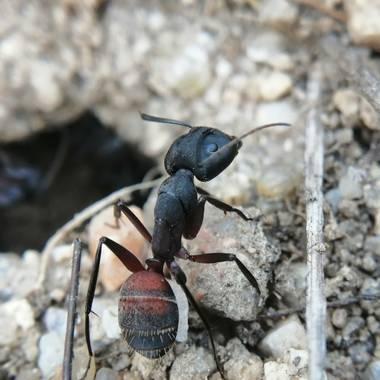 Gustavo Adolfo. en Hamelin: Fauna, Es de las hormigas más grandes de Europa. Pertenece a las llamadas hormigas madereras o carpinteras. Roe la madera para...