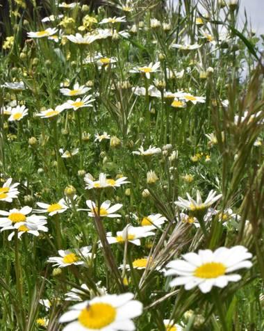 Fabi Gracia en Hamelin: Flora  (Leganés), Anthemis arvensis, Pequeñas flores... bellezas más grandes #flora21