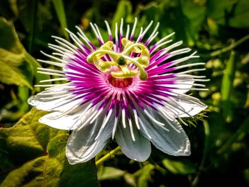 Jorgeluispantojam en Hamelin: Flora  (Barranquilla), Una flor silvestre a orillas del río Magdalena, en Barranquilla, Colombia. #flora21