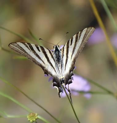 Mivilor68 en Hamelin: Fauna  (Ponferrada), #mariposas
