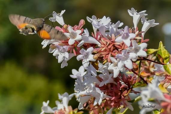 Malofer2 en Hamelin: Flora  (Orense), Abelia x grandiflora, Mariposa Colibrí buscándose el desayuno #flora21 #hamelin