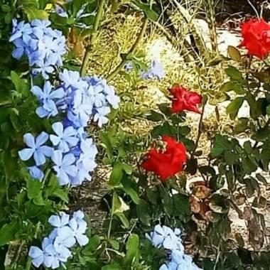 Navarroarevalomariateresa en Hamelin: Flora  (Viesca), Plumbago auriculata, Hermosos plumbago y rosal...alegrando el jardín!