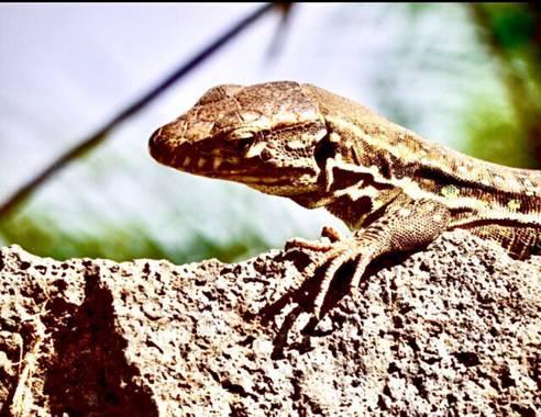 Juanatlantida82 en Hamelin: Fauna, Lagarto (Tenerife)