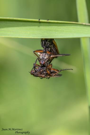 guachinaty1 en Hamelin: Fauna  (Linares), Empis tessellata apareandose,mientras devora a uno de su misma especie