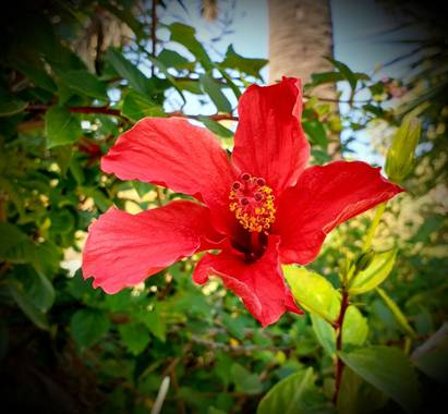 Lauratduch en Hamelin: Flora  (Barcelona), Hibiscus rosa-sinensis, Fotomovil#flora21#