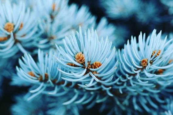 imagiaproducciones en Hamelin: Flora  (Cacabelos), Picea pungens, #arbol #planta #plantaazul #color #otoño #rural #naturalezalove #naturalezagallega #natur...