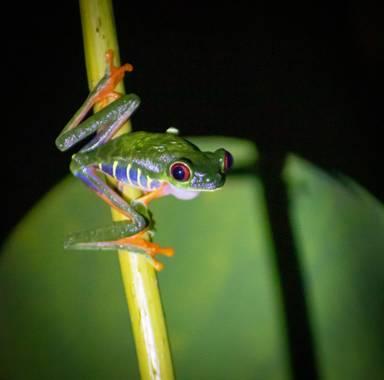 Zuffo.mariana en Hamelin: Fauna  (Cahuita), #fauna #rana #costarica