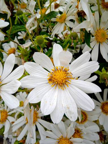 BrenMG en Hamelin: Flora, Tithonia diversifolia, #flora21 🌼