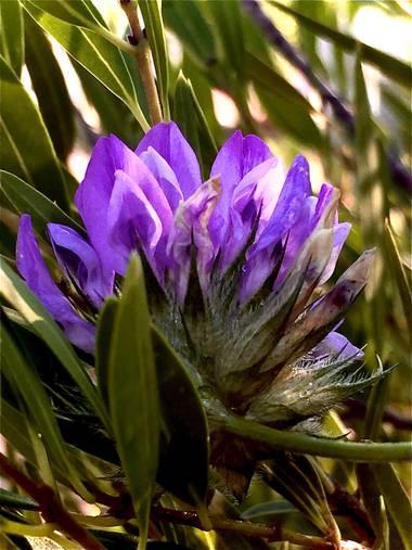 Erikalan9 en Hamelin: Flora  (Sant Cugat del Vallès), Bituminaria bituminosa