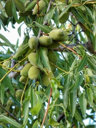 mariale en Hamelin: Flora, Prunus dulcis, 📸 #marialemdza Provincia de Zamora, primavera 2021. #Naturaleza #BellezaNatural  #Naturaleza #ParqueNaturalDeLo...