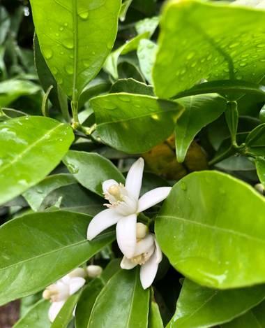 Minet.ros en Hamelin: Flora  (l'Alcúdia), Naranjos en plena floración, impresionante el olor i color. #flora#fauna#paisajes#naranjas