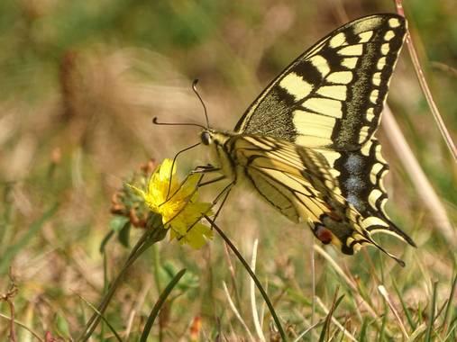 Eritz.cortazar en Hamelin: Fauna  (Bilbao), Macaon . . . #mariposa #butterfly #insect #insecto #animal #fauna #florayfauna_es #hamelin #nature #naturaleza ...