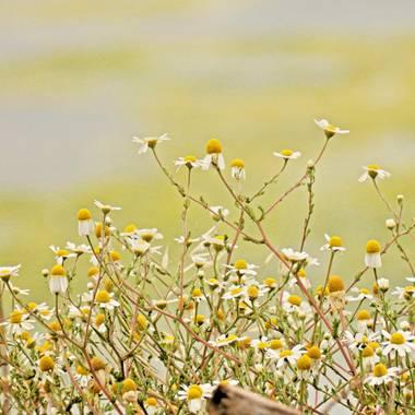 Georginaag en Hamelin: Flora  (Malgrat de Mar), #flora #flor #manzanilla