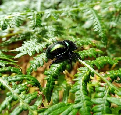Mivilor68 en Hamelin: Fauna  (Ponferrada), #escarabajos