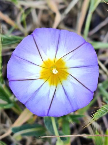 Medea127 en Hamelin: Flora  (Camas), Convolvulus tricolor, O Bella de día,se desarrolla en tierras cultivadas, vegetación ruderal, etc