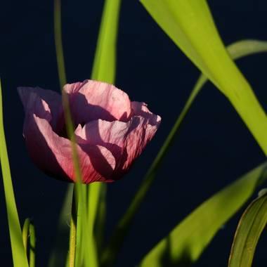 Georginaag en Hamelin: Flora  (Blanes), #amapola #flora21 #florsilvestre