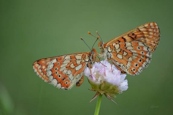 Myre_9 en Hamelin: Fauna  (Madrid), Butterflies and wild flower