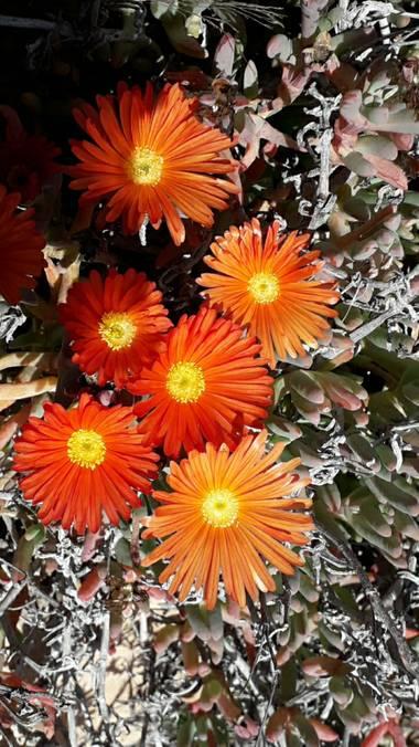 Solerantonio2 en Hamelin: Flora  (Níjar), Malephora crocea, Cala de San Pedro las negras