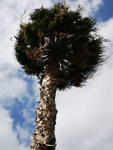 Laauritaconde en Hamelin: Flora  (Telde), Palmera 🌴 #islascanarias #palmera #corteza  #naturaleza #hamelin #fotografia