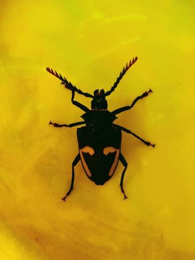 darjemo en Hamelin: Fauna  (Córdoba), Escarabajo negro