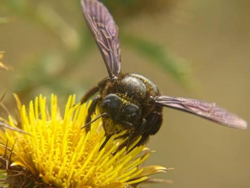 Eritz.cortazar en Hamelin: Fauna  (Bilbao), Abejorro carpintero  Este peculiar insecto construye nidos en la madera perforándola con sus mandíbulas, donde ...