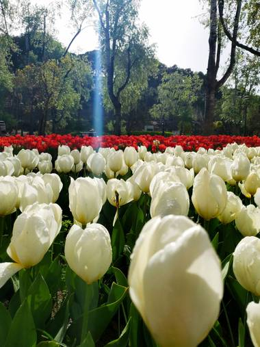 Liliannetnavas en Hamelin: Paisaje  (Zaragoza), Tulipanes.. #flora21