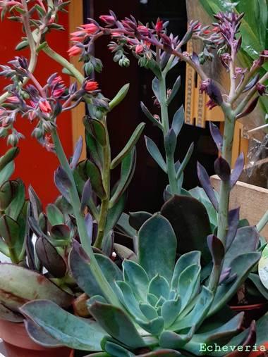 Mpinfante en Hamelin: Flora, E