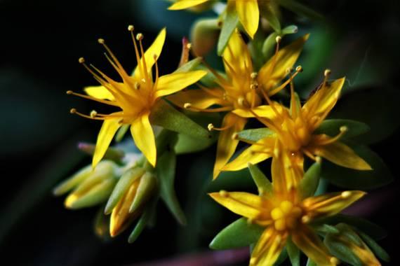 Jomacaes70 en Hamelin: Flora  (Huelva), Sedum kamtschaticum, #flora21