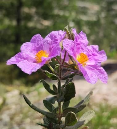 aidalzira en Hamelin: Flora  (Cortes de Pallás), Cistus albidus, La jara blanca (Cistus albidus) es una especie fanerógama perteneciente a la familia Cista...
