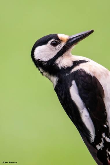 Unai Urresti en Hamelin: Fauna  (Crémenes), Dendrocopos major (Linnaeus, 1758), Retrado de la hembra del Pico picapinos.  #aves21 #picopicapinos  #fauna