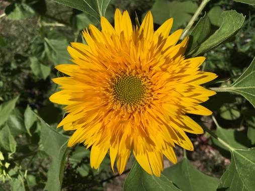 miradasbiologicas en Hamelin: Flora, Helianthus annuus