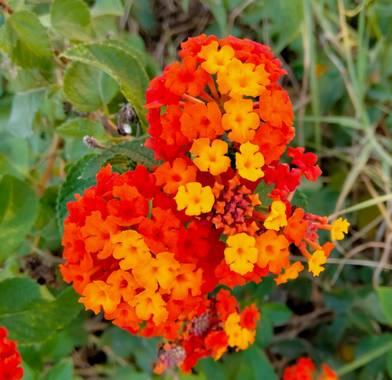 Solerantonio2 en Hamelin: Flora  (Almería), Flor de lantana