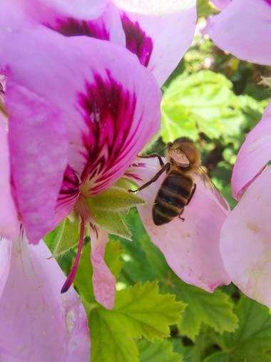 Apasnau75 en Hamelin: Fauna  (Algarrobo), Sobre Pelargonium...