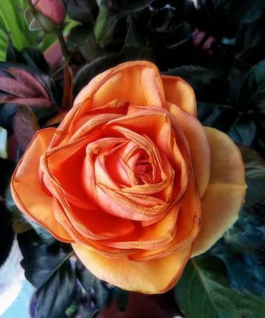 Blanca en Hamelin: Flora  (Estella), Rosa chinensis, Rosa de pitiminí.