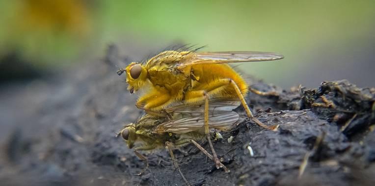 Eritz.cortazar en Hamelin: Fauna  (Bilbao), Mosca amarilla del estiercol   Moscas del estiercol en su proceso de apareamiento. En amarillo de tamaño más ...