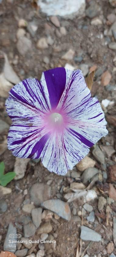 Apasnau75 en Hamelin: Flora  (Rincón de la Victoria), Ipomoea purpurea, Como pincelada a mano 😍