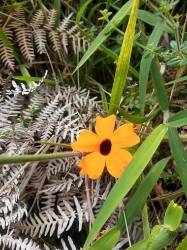 juanlenis18 en Hamelin: Flora  (Cali), Thunbergia alata