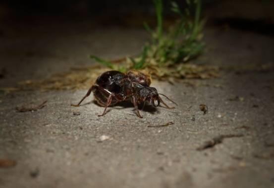 flacamlau en Hamelin: Fauna, Hormiga Es muy grande, de unos 3 CM de.largo. Pensamos que es una hormiga reina migrando para armar otro nido.