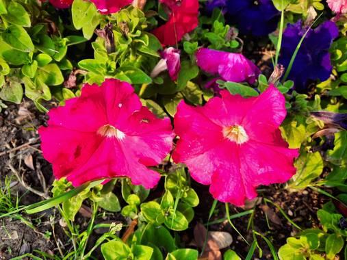 Eliza.loaizac en Hamelin: Flora  (Elche), #flordeverano #palmeralelche #naturaleza