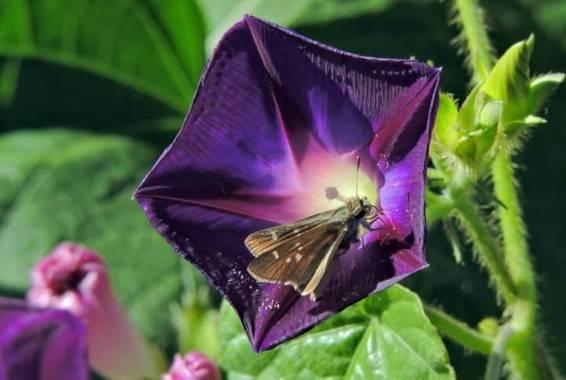 Acedogloria en Hamelin: Flora, Ipomoea purpurea