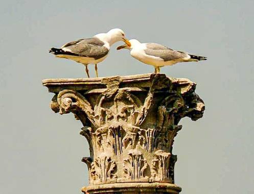 bernard1402  en Hamelin: Fauna  (Roma), Larus michahellis J.F.Naumann, 1840, Amor en tiempos de Roma. Foto hecha en las ruinas del Foro Romano a una pareja...