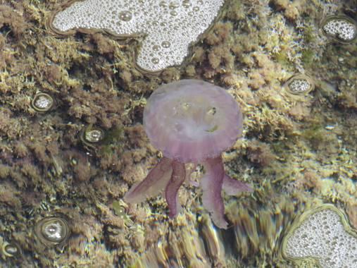 Solerantonio2 en Hamelin: Fauna  (Níjar), Medusa en cala del tomate los escullos