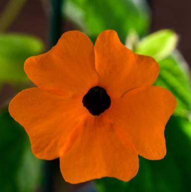 Ninigabi en Hamelin: Flora  (Huelva), Thunbergia alata, #flornaranja