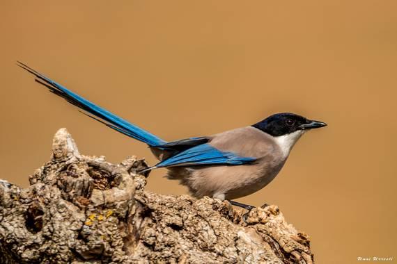 Unai Urresti en Hamelin: Fauna  (Brieva), Cyanopica cooki Bonaparte, 1850, Rabilargo.  #aves21 #rabilargo #fauna