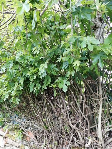 Susandresro en Hamelin: Flora  (Lugo), Ficus carica, Higuera